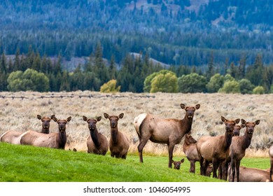 Female elk waiting on their male stud to lead the way in Grand Teton National Park in Jackson Hole, Wyoming.