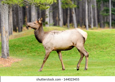 Female Elk or Wapiti (Cervus canadensis) near Cascade Pond in Banff National Park Alberta Canada