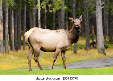Female Elk or Wapiti (Cervus canadensis) near Banff golf course in Banff National Park Alberta Canada