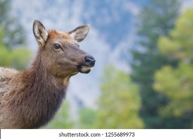 female Elk in Yellowstone National Park near Mammoth Hot Springs Visitor Center - close up portrait with a natural background of coniferous forest