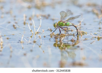 a female emperor dragonfly, Anax imperator,  in it's surrounding busy with depositing eggs