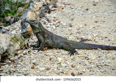 female endangered blue iguana only found on Cayman Islands