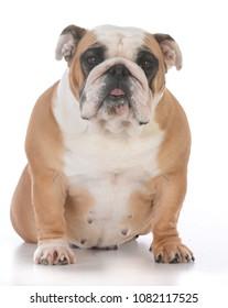 female english bulldog on white background