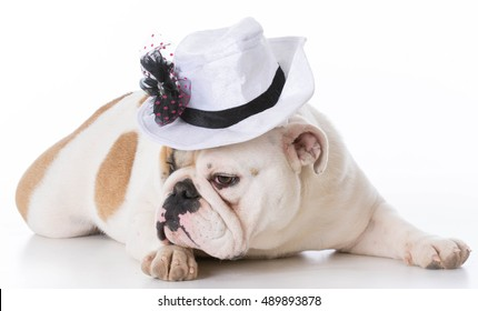 female english bulldog wearing a hat on white background