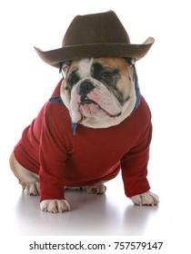 female english bulldog wearing western hat on white background