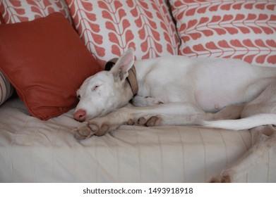 female english greyhound asleep tired on a sofa chill