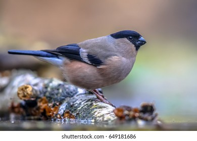 Female Eurasian bullfinch (Pyrrhula pyrrhula) perched on log and drinking water. This is a small passerine bird breeding across Europe and temperate Asia.