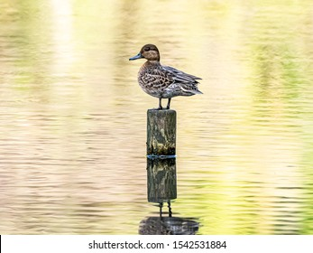 A female eurasian green-winged teal duck, Anas crecca, sleeps while perched on a wooden pole in a small Japanese pond.