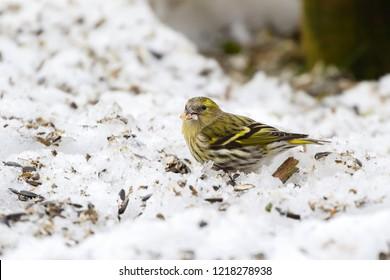 Female Eurasian siskin bird (Black-headed goldfinch) eating sunflower seeds on snow during winter in Europe (Spinus spinus)