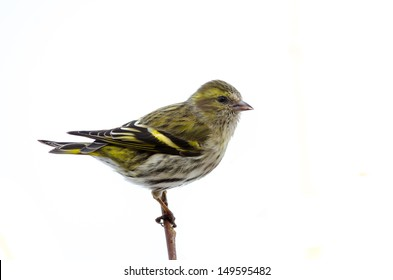 Female eurasian siskin isolated on white background