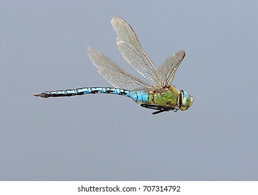 Female European Blue Emperor Dragonfly (Anax imperator) hovering in flight.