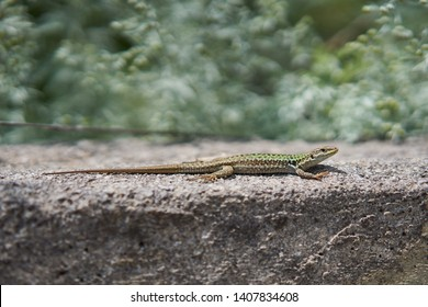 Female of European green lizard sunning in Sicily, Lacerta viridis, is a large lizard distributed across European midlatitudes. It is often seen sunning on rocks or lawns, or sheltering amongst bushes