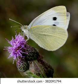 Female European Large Cabbage White butterfly (Pieris brassicae) feeding on a thistle flower in summer.