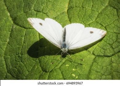 Female European Large Cabbage White butterfly Pieris brassicae