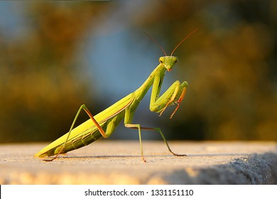 Female European Mantis or Praying Mantis, Mantis Religiosa. Green praying mantis.