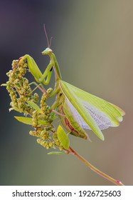 Female European Mantis or Praying Mantis, Mantis Religiosa. Green praying mantis.Warning pose.