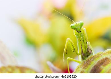 Female European Mantis or Praying Mantis, Mantis religiosa, on leaf