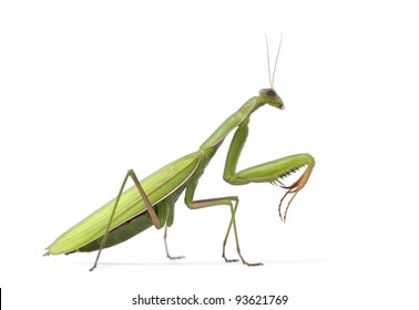 Female European Mantis or Praying Mantis, Mantis religiosa, in front of white background
