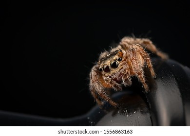 Female Evarcha Jucunda salticidae spider in front with beatiful big eyes