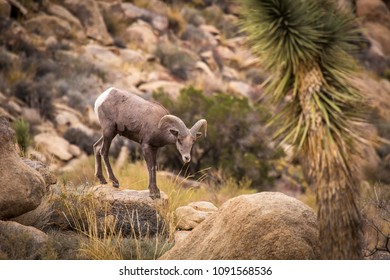 Female (ewe) big horn sheep in Joshua Tree National Park in California USA.