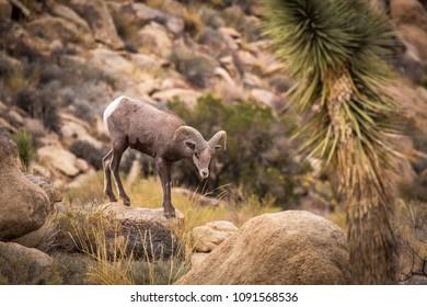 Female (ewe) big horn sheep in Joshua Tree National Park in California USA.