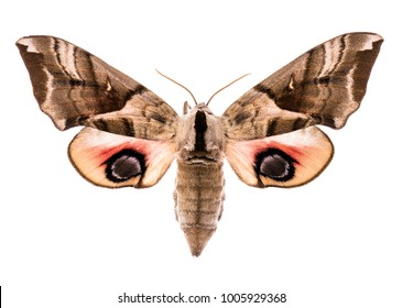 Female eyed hawk-moth (Smerinthus ocellatus) isolated on white background