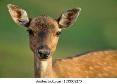 Female of Fallow deer (Dama dama) looks straight into the lens from a very short distance.