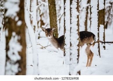 Female fallow deer dama dama in the winter forest