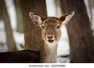 Female fallow deer game huntingr