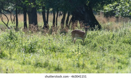 A female fallow deer in Jaegersborg Dyrehave, a nature reserve near Copenhagen in Denmark