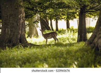 female fallow deer in the Phoenix Park Dublin