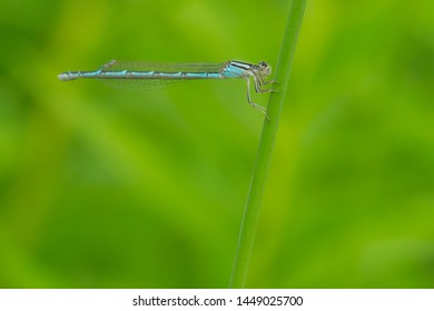 A female Familiar Bluet Damselfly is clinging to a thin stem. Mississauga, Ontario, Canada.