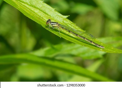 Female Familiar Bluet Damselfly perched on a leaf. Lower Don Parklands, Toronto, Ontario, Canada.