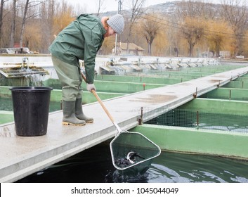 Female farm worker fishing for sturgeon with landing net from fish tank