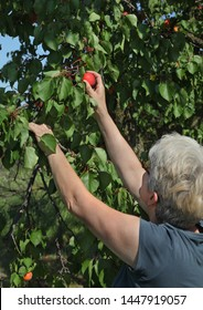 Female farmer or agronomist examining and picking apricot fruit from tree in orchard