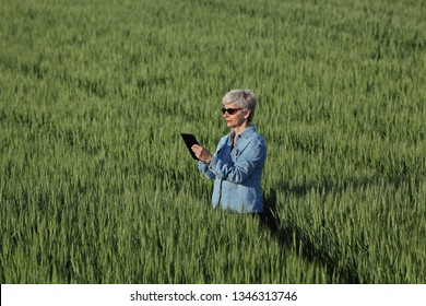 Female farmer or agronomist inspect quality of green wheat in field using tablet, spring time