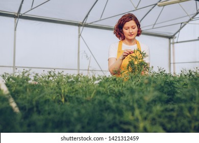 Female farmer in apron grooming leaves of green plants while working in hothouse