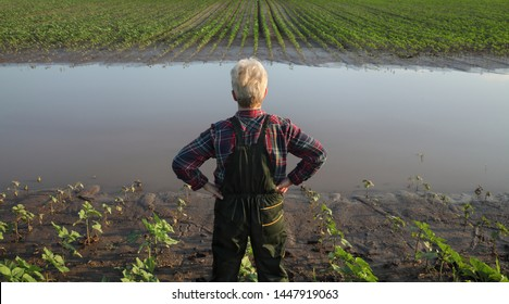Female farmer examining young green sunflower plants in mud and water, damaged  field after flood