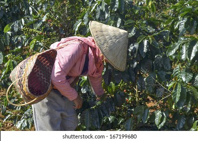 Female farmer hand picking arabica coffee berries in red and green on its branch tree at plantation