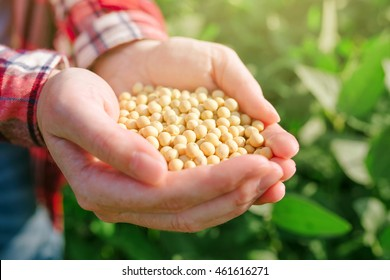 Female farmer with handful od soybean in cultivated field, agricultural worker harvesting soy crops on bright sunny day