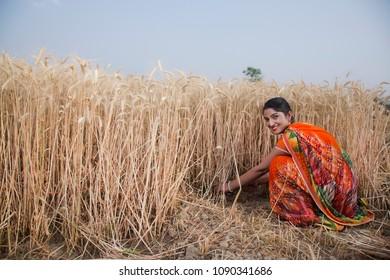Female farmer harvesting wheat crops in a wheat field