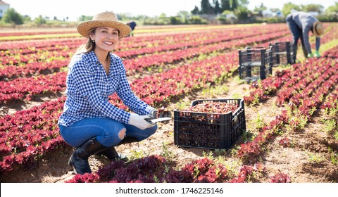 Female farmer peeling and collects red lettuce in box on the plantation