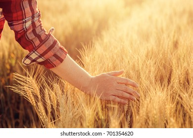 Female farmer touching wheat crop ears in field, agricultural activity and occupation