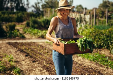 Female farmer working in field. Gardener carrying crate with freshly harvested vegetables in garden.