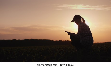 A female farmer is working in the field at sunset. Studying plant shoots, using a tablet