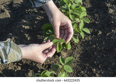 Female farmer's hands in soybean field, examining plant. Agricultural concept.