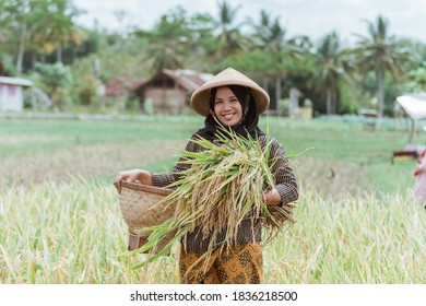 Female farmers who harvest rice plants with woven bamboo baskets after harvesting together in the fields