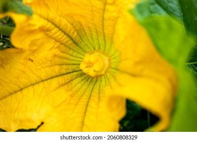 Female flower of a Giant Pumpkin open