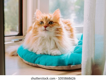 Female fluffy red cat lying by a window and looking up interested.