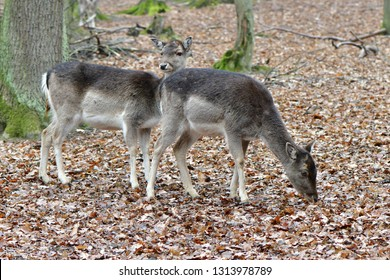 female of folow deer in game Holedna in Czech republic